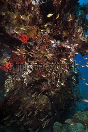 Vörös-tenger hal természet tájkép tenger háttér Stock fotó © stephankerkhofs