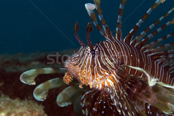 Lionfish in the Red Sea. Stock photo © stephankerkhofs