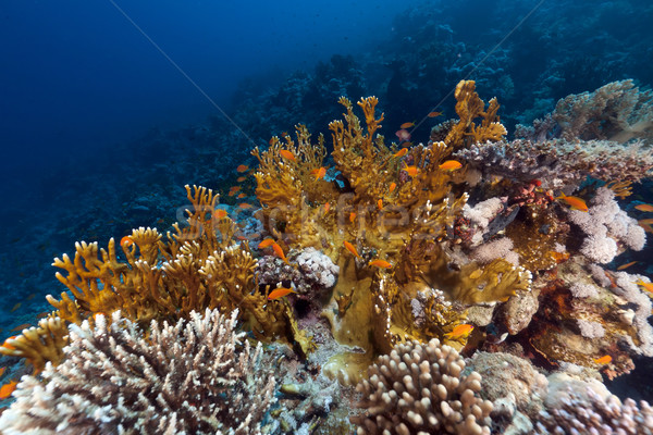 Stock fotó: Hal · trópusi · Vörös-tenger · tájkép · tenger · háttér