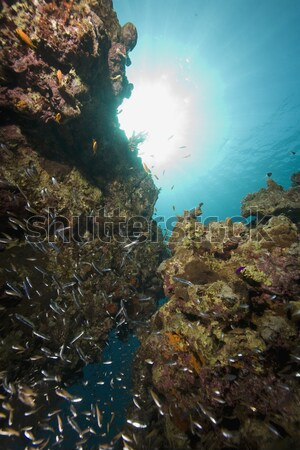 Coral reef and fish in the Red Sea. Stock photo © stephankerkhofs
