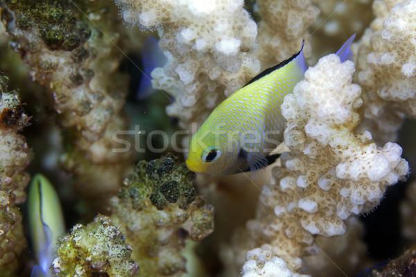 Vörös-tenger víz hal kék élet trópusi Stock fotó © stephankerkhofs