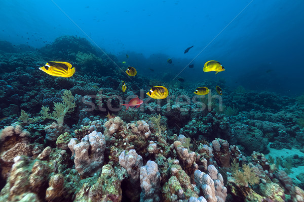 Raccoon butterflyfishes (chaetodon fasciatus) in the Red Sea. Stock photo © stephankerkhofs