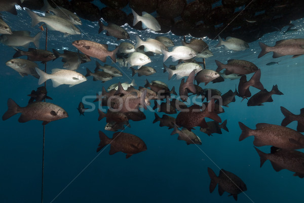 Floating pier and fish in the Red Sea. Stock photo © stephankerkhofs