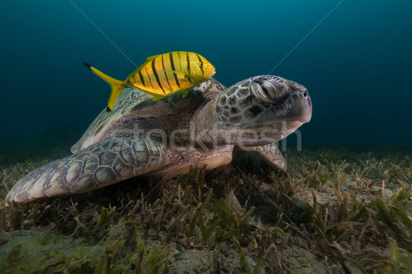 Green turtle (chelonia midas) and trevally in the Red Sea. Stock photo © stephankerkhofs