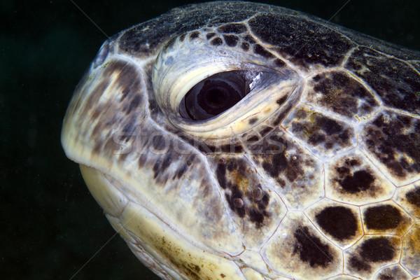 Сток-фото: зеленый · черепахи · портрет · воды · рыбы
