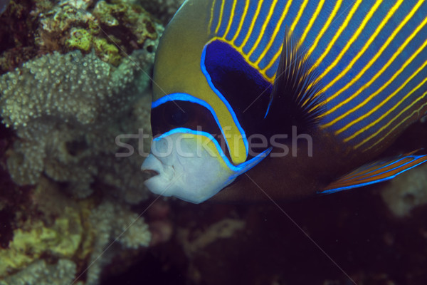 Close-up of an emperor angelfish (pomacanthus imperator). Stock photo © stephankerkhofs