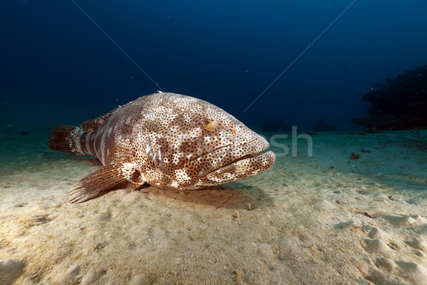 Malabar grouper (ephinephelus malabaricus) in the Red Sea. Stock photo © stephankerkhofs