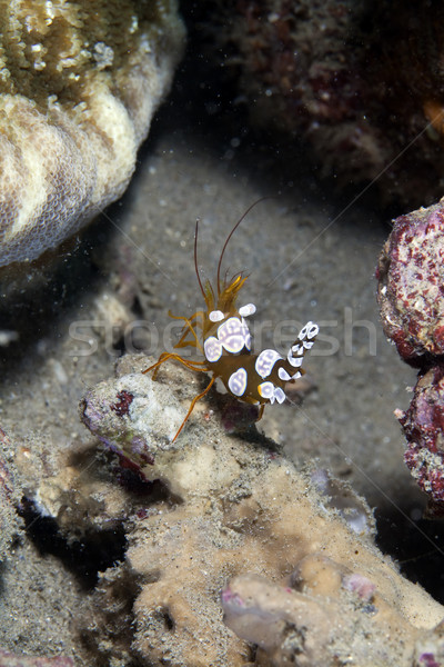 Squat shrimp (thor amboinensis) in the Red Sea. Stock photo © stephankerkhofs