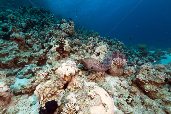 Giant moray free swimming in the Red Sea. Stock photo © stephankerkhofs