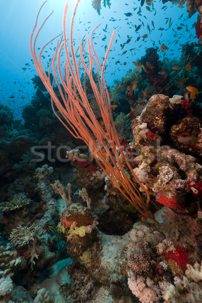 Red cluster whip and tropical reef in the Red Sea. Stock photo © stephankerkhofs