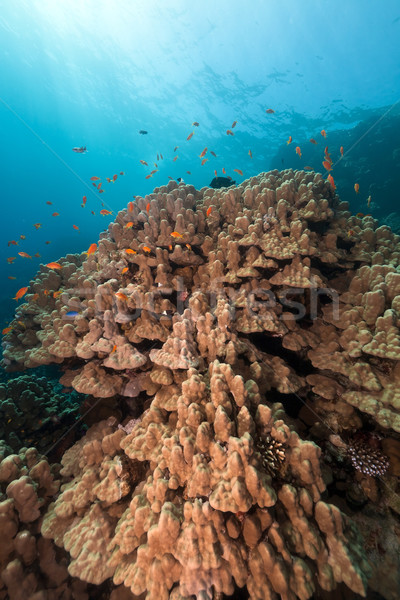 Mountain coral in the Red Sea. Stock photo © stephankerkhofs