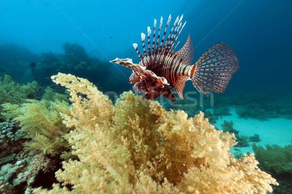 Lionfish and underwater scenery in the Red Sea. Stock photo © stephankerkhofs