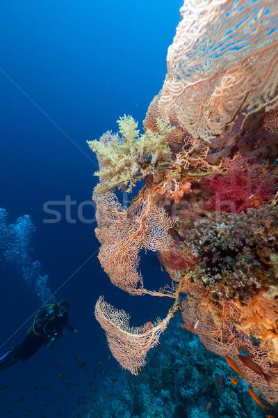 Búvár óriás tenger ventillátor Vörös-tenger hal Stock fotó © stephankerkhofs