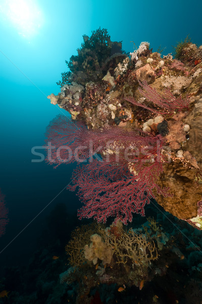 Sea fan and  underwater scenery in the Red Sea. Stock photo © stephankerkhofs