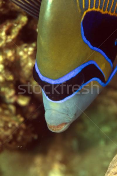 Keizer rode zee water vis Blauw leven Stockfoto © stephankerkhofs