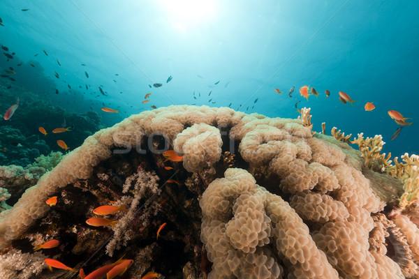 Buborék korall Vörös-tenger hal természet tájkép Stock fotó © stephankerkhofs