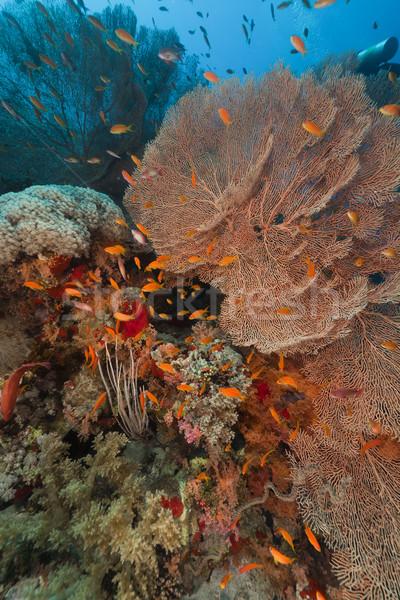 Tenger ventillátor trópusi Vörös-tenger hal tájkép Stock fotó © stephankerkhofs