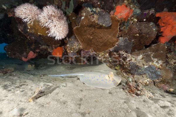 Stock fotó: Rája · trópusi · Vörös-tenger · víz · nap · természet