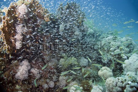 Fish and tropical reef in the Red Sea. Stock photo © stephankerkhofs