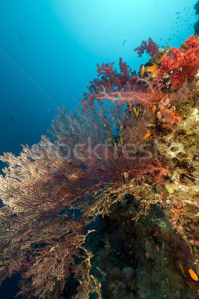 Tenger ventillátor Vörös-tenger víz hal természet Stock fotó © stephankerkhofs