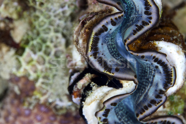 Giant clam detail in the Red Sea. Stock photo © stephankerkhofs