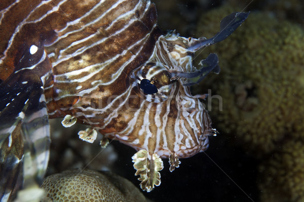 Lionfish (pterois miles) in the Red Sea. Stock photo © stephankerkhofs