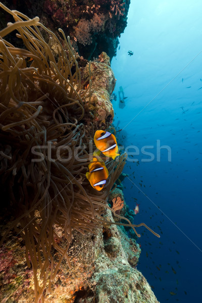 Magnificent anemone and tropical reef in the Red Sea. Stock photo © stephankerkhofs