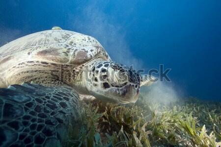 Zöld teknős Vörös-tenger hal természet tájkép Stock fotó © stephankerkhofs
