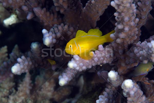 Korall Vörös-tenger űr utazás szín sötét Stock fotó © stephankerkhofs