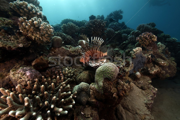 Lionfish and tropical reef. Stock photo © stephankerkhofs