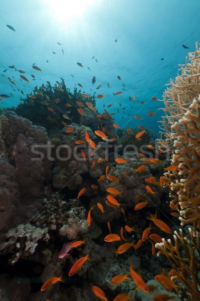 Trópusi Vörös-tenger hal természet tájkép tenger Stock fotó © stephankerkhofs