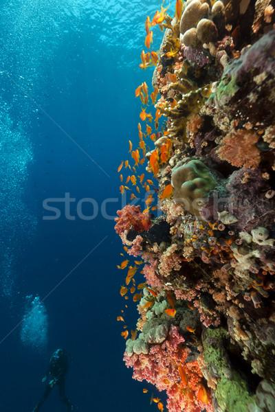 тропические Diver воды рыбы природы Сток-фото © stephankerkhofs