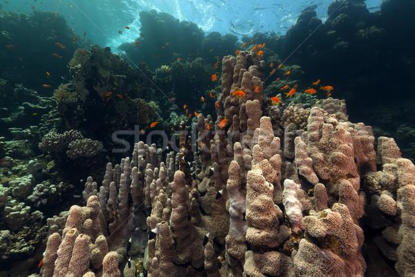 Trópusi vízalatti díszlet Vörös-tenger víz hal Stock fotó © stephankerkhofs