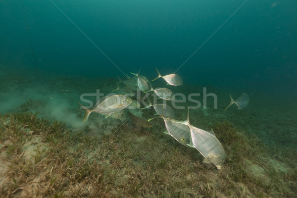 Barred trevally (carangoides ferdau) in the Red Sea. Stock photo © stephankerkhofs