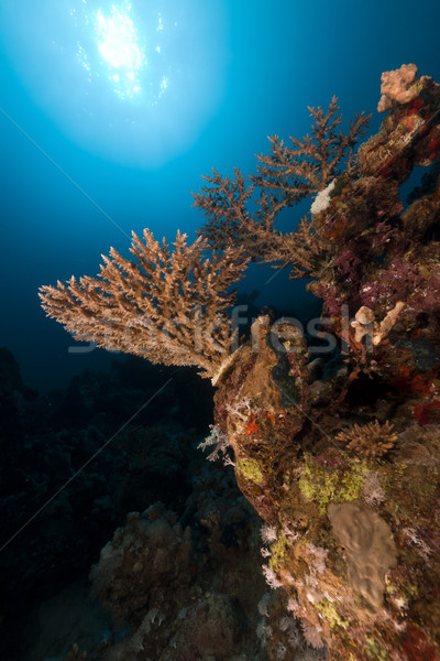 Acropora  in the Red Sea. Stock photo © stephankerkhofs