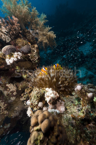 Anemone and glass fish in the Red Sea. Stock photo © stephankerkhofs