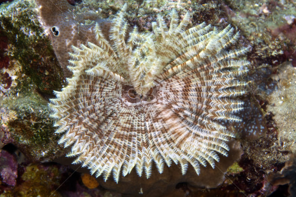 Feather duster worm (sabellastarte indica) in the Red Sea. Stock photo © stephankerkhofs
