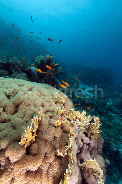 Bulle corail mer rouge poissons nature paysage Photo stock © stephankerkhofs