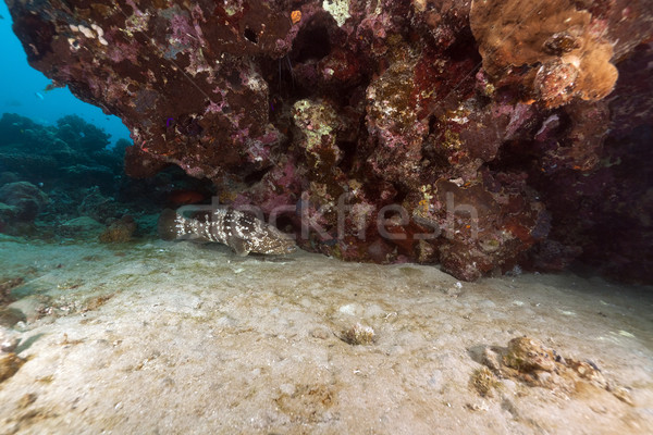 Malabar grouper and coral in the Red Sea. Stock photo © stephankerkhofs