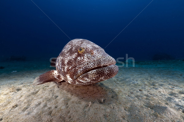 Stock photo: Malabar grouper (ephinephelus malabaricus) in the Red Sea.