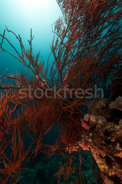 Fekete korall Vörös-tenger víz hal természet Stock fotó © stephankerkhofs