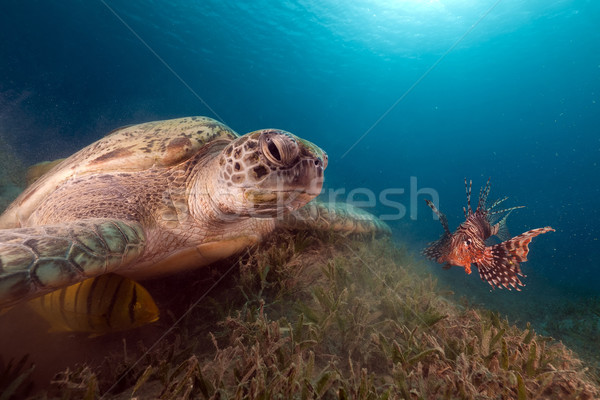 Green turtle and buddy Lionfish in the Red Sea. Stock photo © stephankerkhofs