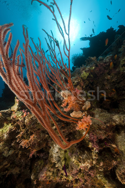 Red cluster whip in the Red Sea. Stock photo © stephankerkhofs