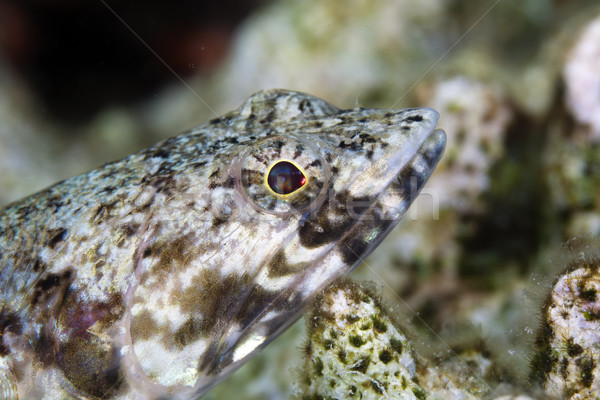 Close-up of a lizardfish in the Red Sea. Stock photo © stephankerkhofs