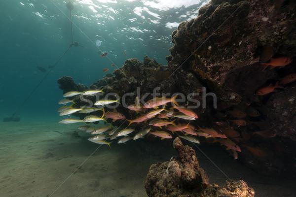 Trópusi hal korall Vörös-tenger hal víz nap Stock fotó © stephankerkhofs