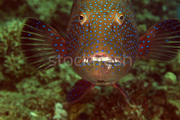 Coralgrouper close-up in the Red Sea. Stock photo © stephankerkhofs