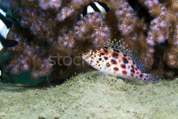 Pixie hawkfish (cirrhitichthys oxycephalus) in the Red Sea. Stock photo © stephankerkhofs
