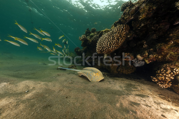 Bluespotted stingray and coral in the Red Sea. Stock photo © stephankerkhofs