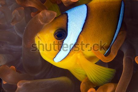 Anemonefish (amphiprion bicinctus) Stock photo © stephankerkhofs
