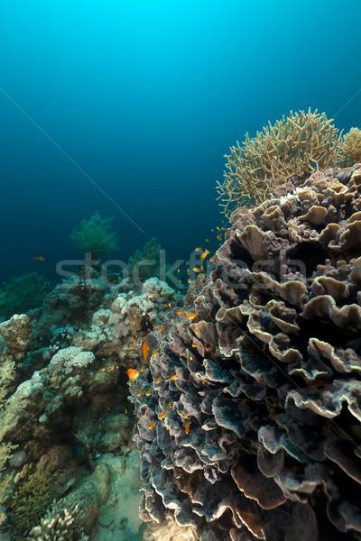 Elefánt fül korall Vörös-tenger hal természet Stock fotó © stephankerkhofs